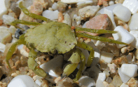 Invasive Green Crabs are Eating Their Way North into Maine