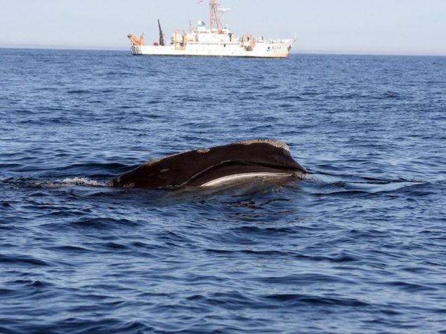 Right whale (Eubalaena glacialis) skim feeding with NOAA ship Delaware II in the background.