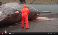 Dead Sperm Whale Explodes – WARNING: EXTREMELY GRAPHIC