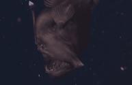 Nightmarish Black Seadevil Caught on Video