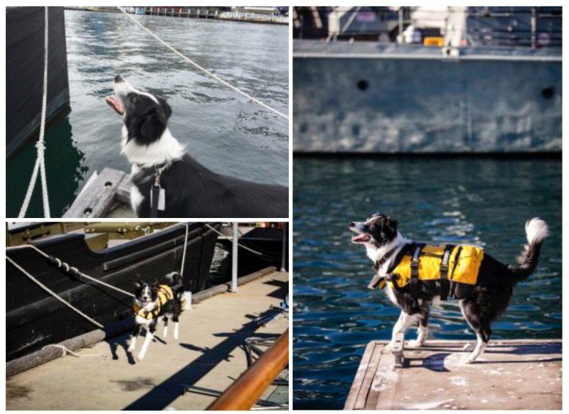 Bailey-maritime-dog