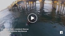 WATCH: Cow Marked for Export Jumps Ship, Swims to Shore in Fremantle