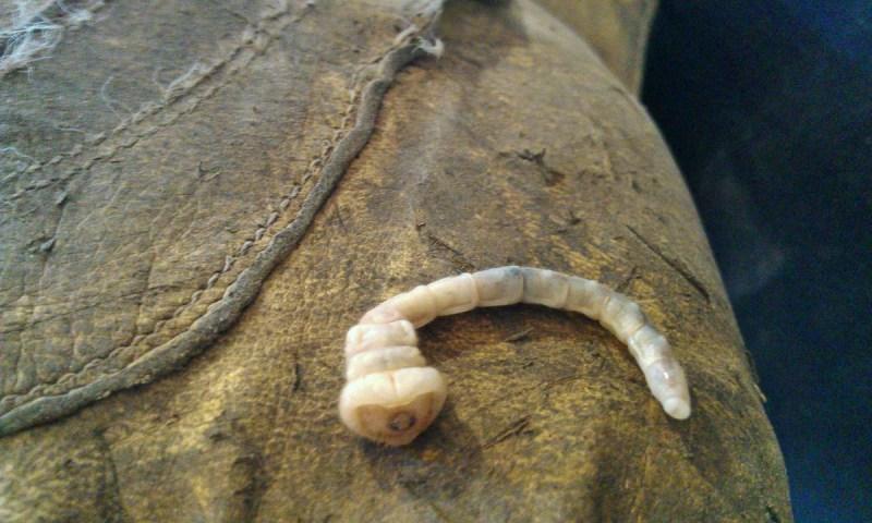 geardiary-wood-boring-worm-larva-beetle-texas