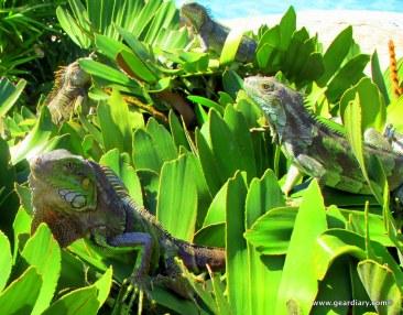 24-geardiary-aruban-iguanas-023