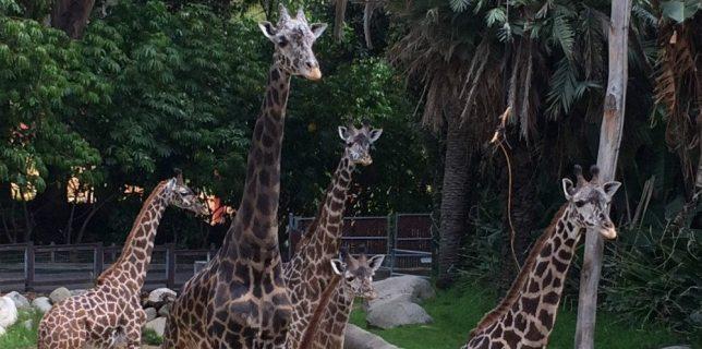 giraffes_feat