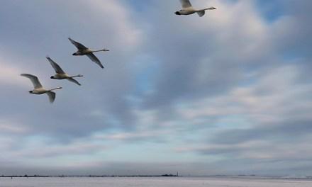 Algunas aves aumentan de tamaño en lugar de decrecer conforme se espera