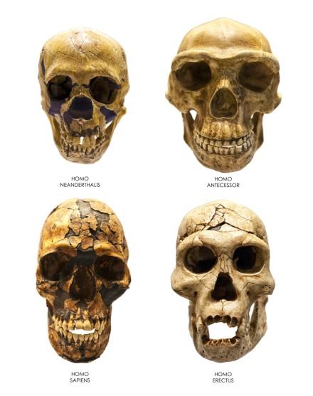 尼安德塔人(Homo neanderthalensis)、前人(Homo antecessor)、智人(Homo sapiens)、直立人(Homo erectus) 之頭骨比較。