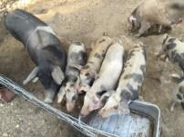 Les cochons sauvages, de bonne facture
