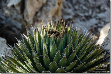 Century plant Crazy Jug Point Kaibab National Forest Arizona