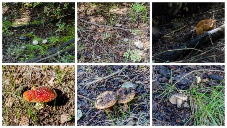 Mushrooms Widforss trail North Rim Grand Canyon National Park Arizona