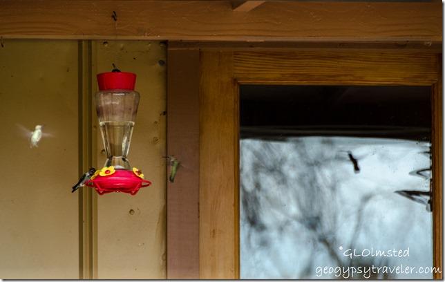 Hummingbirds Berta's Yarnell Arizona