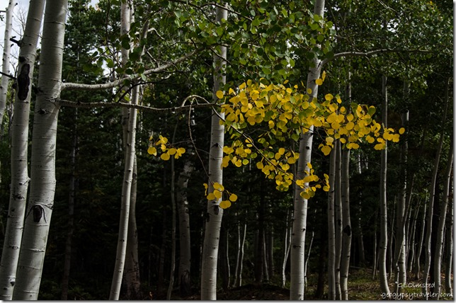 Golden Aspen Kaibab Kaibab National Forest Arizona