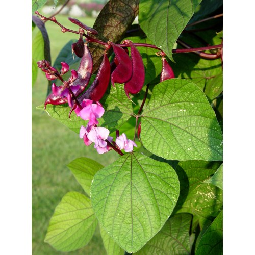 Medium Crop Of Hyacinth Bean Vine