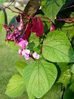 Small Of Hyacinth Bean Vine