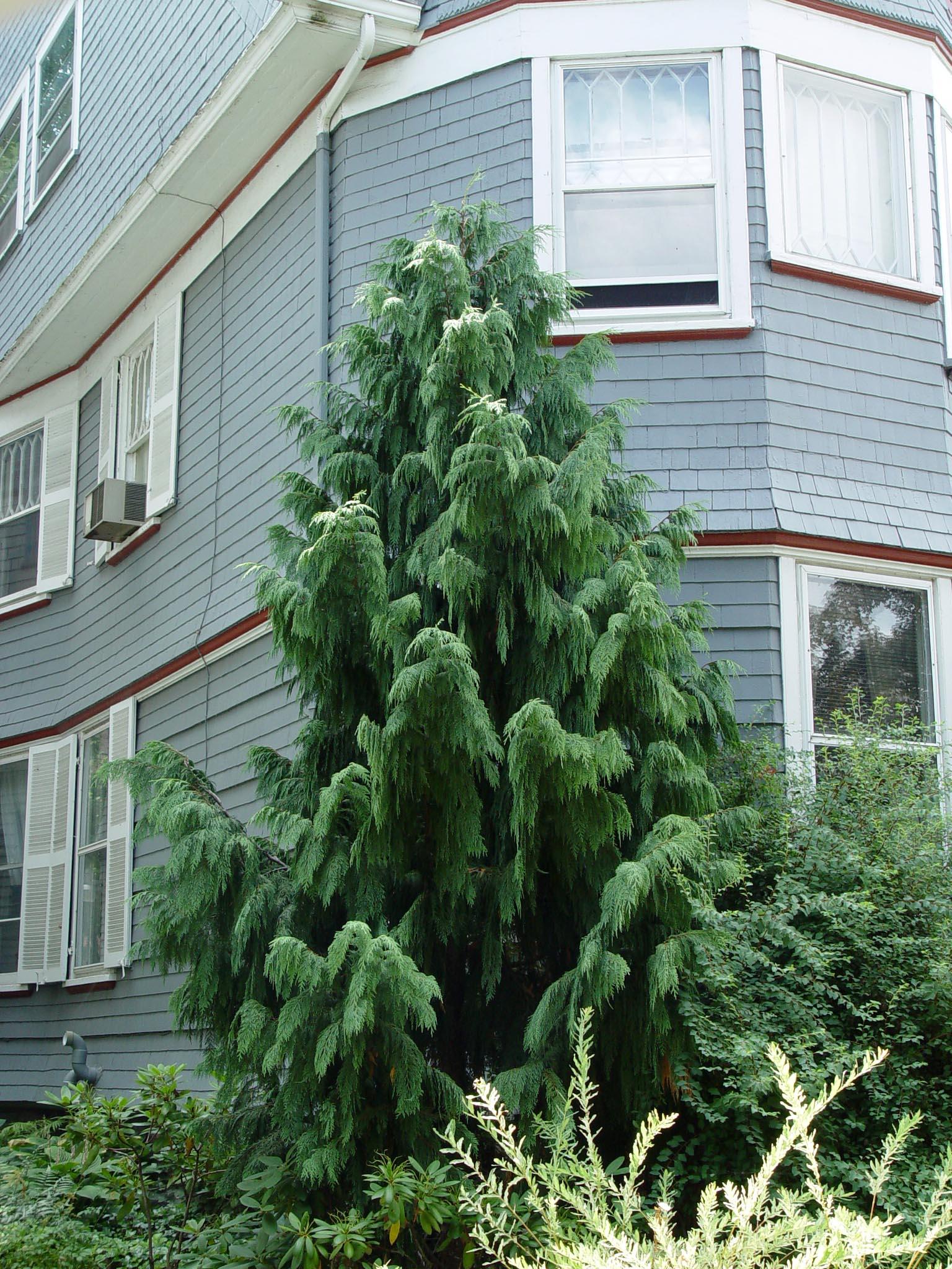 Fullsize Of Weeping Alaskan Cedar