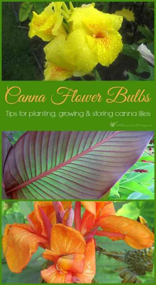 Medium Of Canna Lily Bulbs