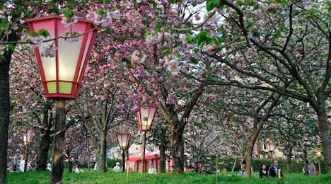 japan mint cherry blossom