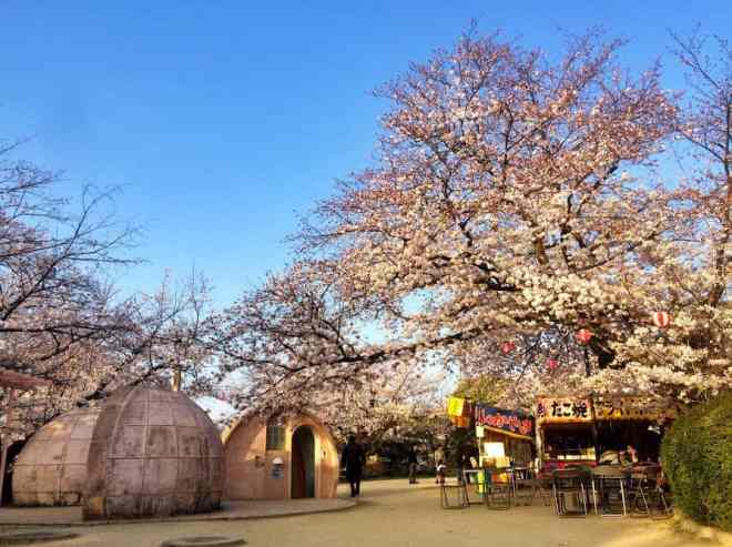 eba-yama cherry blossoms