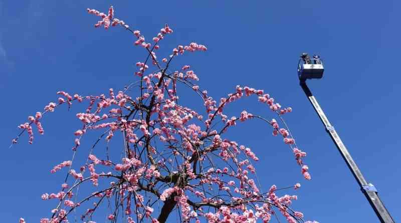 Ume blossoms at Shukkei-en Garden 2017 - 01