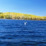 Seagulls on Fish Lake