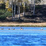 Gaggle of Geese on Fish Lake