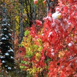 Red Leaves and Evergreen