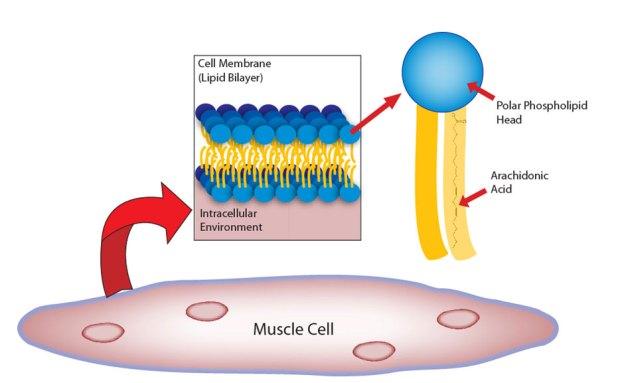 AA in muscle
