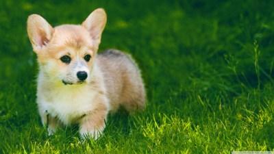 Corgi Puppies Wallpaper (54+ images)