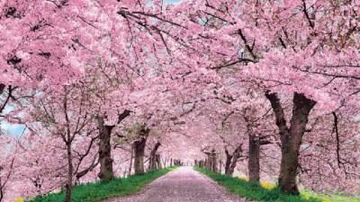 Anime Cherry Blossom Wallpaper (72+ images)
