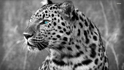 Snow Leopard Wallpaper (72+ images)