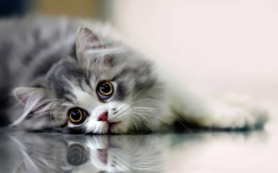 Funny Cat Wallpapers for Desktop (69+ images)