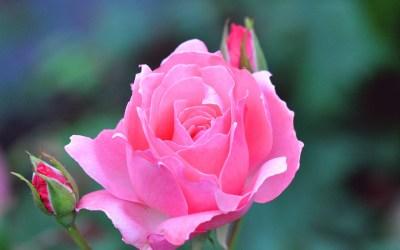 Rose Flower Wallpapers for Desktop (48+ images)