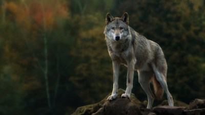 Lone Wolf Wallpaper (57+ images)
