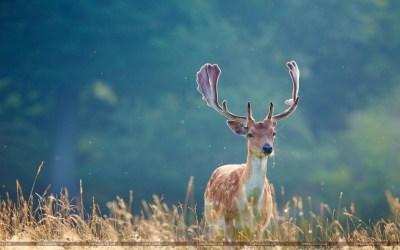 Whitetail Deer Wallpaper (58+ images)