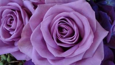 Purple Roses Wallpaper (58+ images)