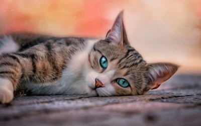 HD Cat Wallpapers (64+ images)