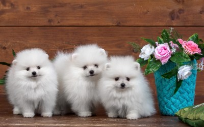 Cute Puppies Wallpaper HD (55+ images)
