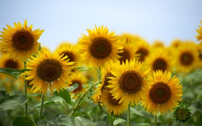 Sunflowers Wallpaper (61+ images)