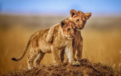 Lion Wallpaper Desktop (68+ images)