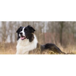 Small Crop Of Border Collie Shedding