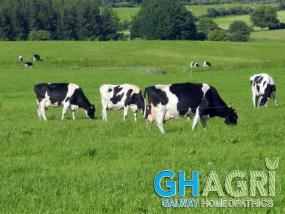 Udderglow, cows, cow, dairy, udder, sore,