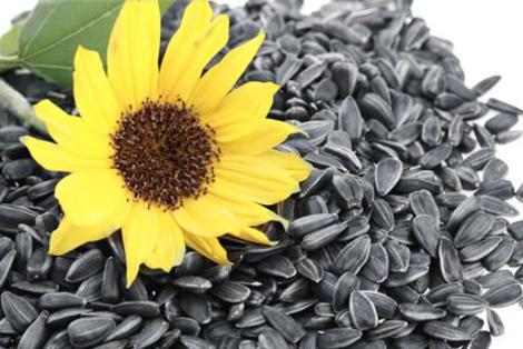 Семена подсолнечника1
