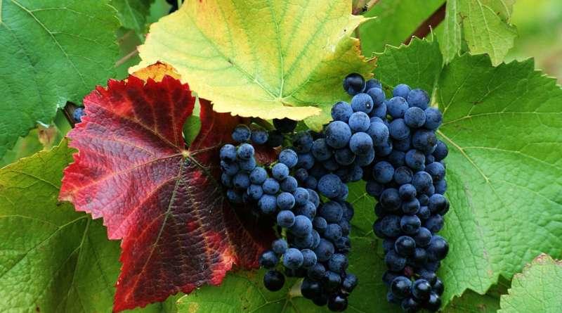 vinogradnie grozdi