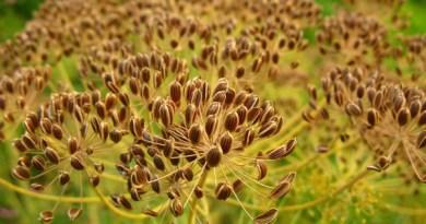 semena ukropa
