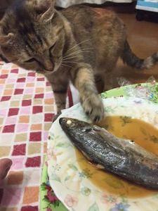 そのうち、手が出てきます・・・が、恐る恐るさわってみるくらい。メイちゃんは、「お魚くわえたのらねこ」のようには、お魚に対する反応は素早くないのです。