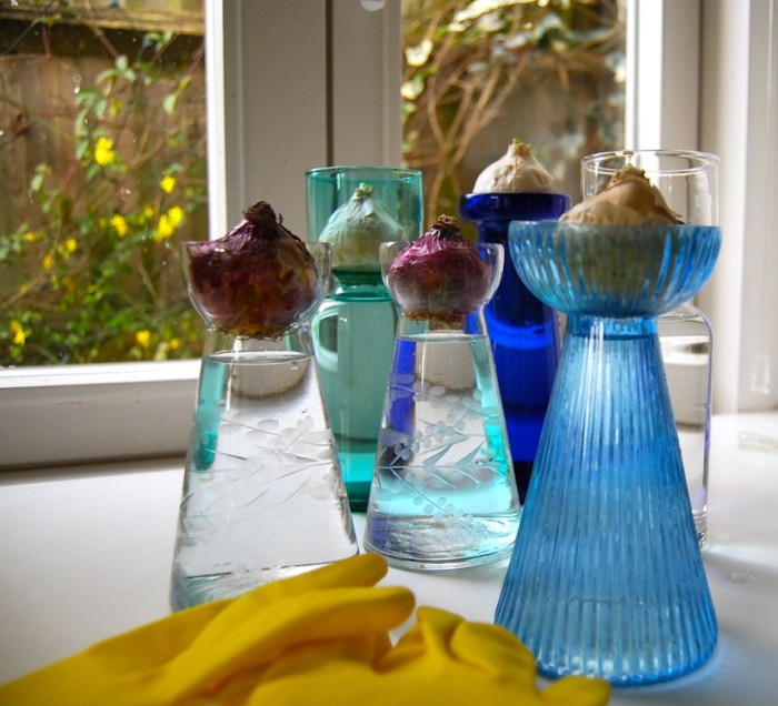 Forcing hyacinth bulbs 2