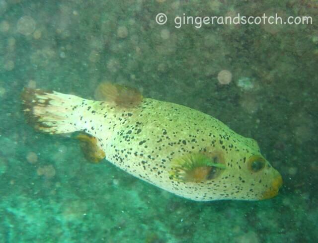 pufferfish sri lanka