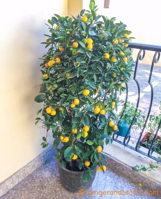 Orange Tree - newly bought