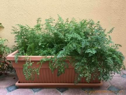 Baby Carrots in Pot