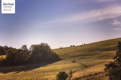 Vaches et paysage vallonné
